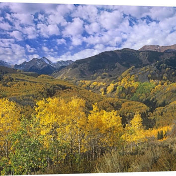 Quaking Aspen in Autumn, Colorado