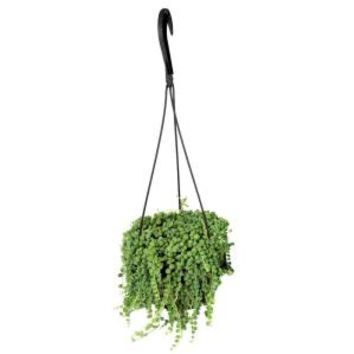 6 in. Hanging Basket Pearls Plant, 0881004 at The Home Depot - Mobile