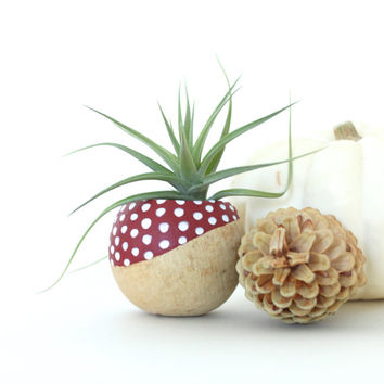 Air Plant Planter with Air Plant - Red & White Spotted