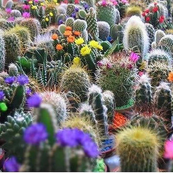 Cactus Mixed Seeds (Cactaceae Mix) 50+Seeds