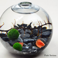 Marimo - Japanese Moss Ball aquarium - in teardrop vase - with marbles - sea fan - and grey pebbles
