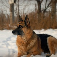 German Shepherd photography,dog photograph,beautiful eyes,winter,snow
