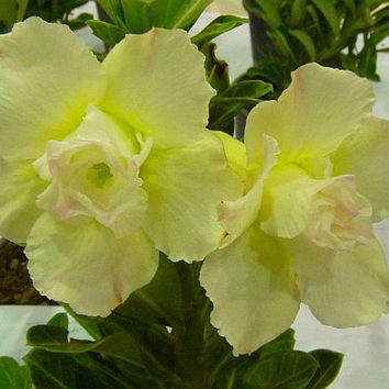 5 Desert Rose Seeds, Authentic Adenium Obesum, Flower Pots Planters Rainbow Bonsai Plants Home Garden Balcony Decor