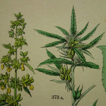 "HEMP Old botanical print about Cannabis Sativa Hop 1884 vintage hand-colored floral poster 8x11""  Original antique paper botany prints"