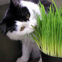 158 cat grass seeds cat herb seeds