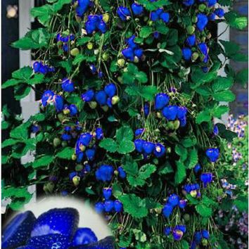 ****NEW ITEM**** 500pcs/bag - Climbing Blue Strawberry Seeds (Organic Fruit)