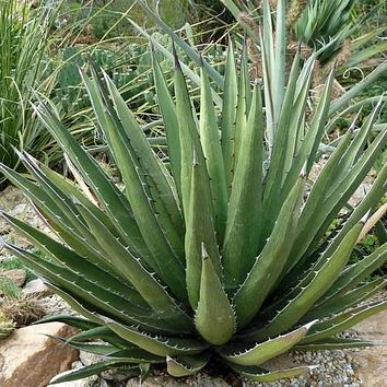 Agave Shin Dagger Succulent Seeds (Agave lechuguilla) 20+Seeds
