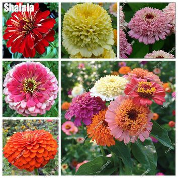 Double Zinnia Seed Heirloom Bonsai Flower Beautifying And Air Purification, Semillas De Flores Raras Home & Garden 200 Pcs