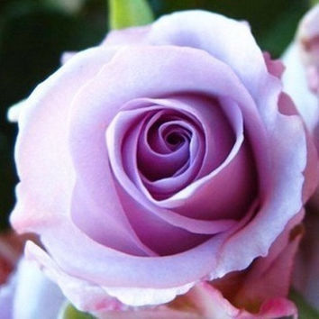 50 Violet Purple Rare Rose Flower Seeds Heirloom Perennials Home Gardening Decor DIY Plant Growing