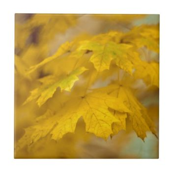 Yellow autumn maple leaves. ceramic tile