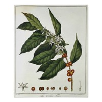 Color portrait of coffee plant and foliage poster