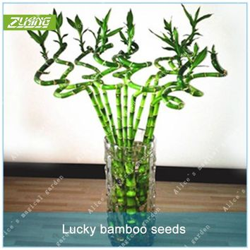 ZLKING 60pcs Chinese Mini Luck Bamboo Tree Bonsai Seeds Fresh Nature Bring Good Luck And Wealth Bamboo Potted Seeds