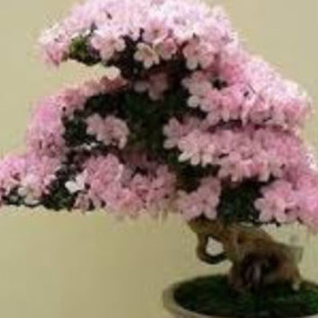 Bonsai Tree,Seeds,Japanese Cherry Blossom Bonsai , Grow Your Own, 5 Seeds