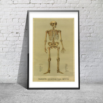 Vintage Print Yaggy's Anatomical Study Antique Skeleton Chart 1800s Bone Medical Anatomy Doctor Office School Art Matte Photo Paper Canvas
