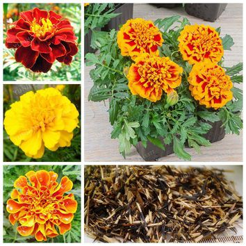 Tagetes Patula Seeds 50 Pcs Flowers Seed Exotic Plants French Marigold Seeds Novel Plant Home Bonsai Easy To Plant