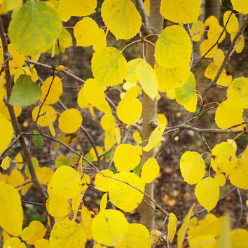 aspen tree, 8x10, nature photography, fine art, yellow, country western, forest, wall art, home decor, autumn, photograph print, canvas