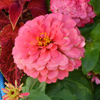 Giant Coral Flowered Zinnia Seeds (Zinnia elegans) + FREE Bonus 6 Variety Seed Pack - a $30 Value!