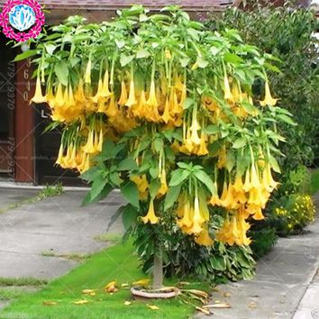 Datura flower seeds Tropical Plant seeds aromatic White Angels Trumpet flower indoor bonsai seed for home garden-50seeds/bag