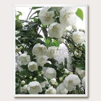 White Wall Art. Photo Download. 8x10. Crabapple. Printable. White Flower. Nature Photography. Modern Home. Instant Download