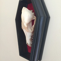 Coyote Skull Coffin Wall Mount