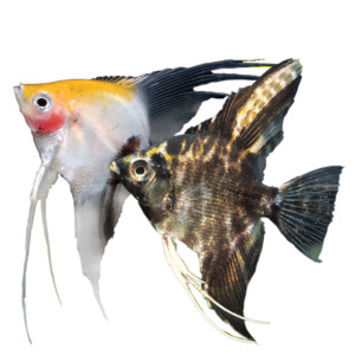 Angelfish - Fish - Live Pet - PetSmart