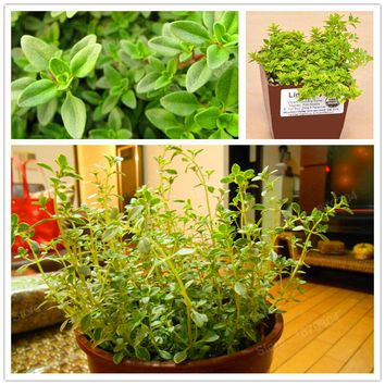 200pcs/bag Lemon thyme Herb seeds vegetable Seeds Thymus Citriodorus Flower Herb Seeds garden Plant,easy to grow