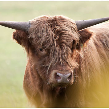 Animal photography nature photography country kitchen decor fine art print kitchen photo print cow fine art photograph brown cow photo print