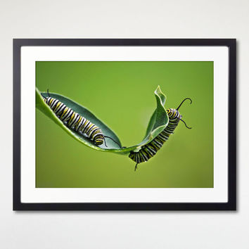 Insects Framed Print, Monarch Caterpillars, Green Nature Photo, Wall Art Print, Ready To Hang