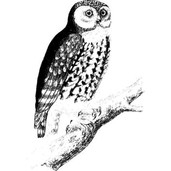 Owl Perched on a Branch Plastisol Heat Transfer