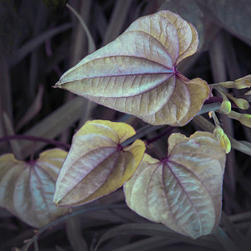 Heart shaped leaves in gray purple yellow surreal photograph woodland enchanted rustic modern. country chic decor/gift