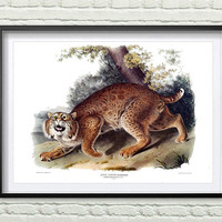 3 Colors Background, Vintage animals print, Reproductions of old illustrations, American Wild Cat poster, John Audubon *15*