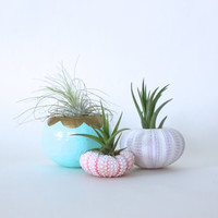 Urchin Air Plant Planter Trio with Air Plants  -  Aqua, Pink, Purple, White, Gold.