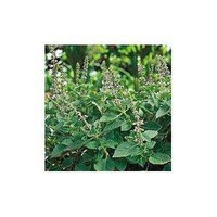 Seeds of Change S10848 Certified Organic Holy Basil, 200 Seed Count (Discontinued by Manufacturer)
