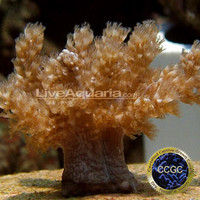 Saltwater Aquarium Corals for Marine Reef Aquariums: Taro Tree Coral - Aquacultured