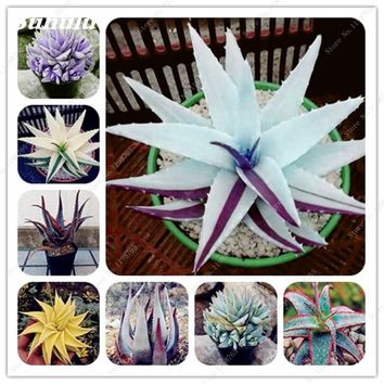 Rare Color Aloe Seeds 30 Pcs Succulent Cactus Plants Edible Beauty Fruit Vegeable Seeds Herbs Plant Mini Garden & Balcony Plants