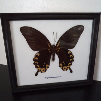 Real Butterfly Framed Display Scarlet Mormon Papilio Rumanzovia Taxidermy  Lepidopterology