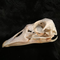 Domestic Goose Skull