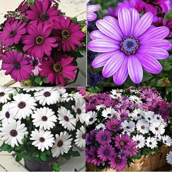 African Blue Eyed Daisy Seeds Osteospermum seeds Cape Mix Flower seeds Heirloom plant for home garden 100 seeds/pack