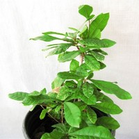 9greenbox - Rare Miracle Fruit Ready to Fruit Live Plant