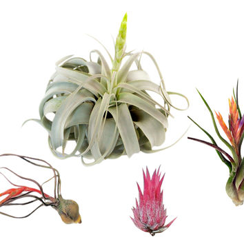 The Mexico Collection Airplant