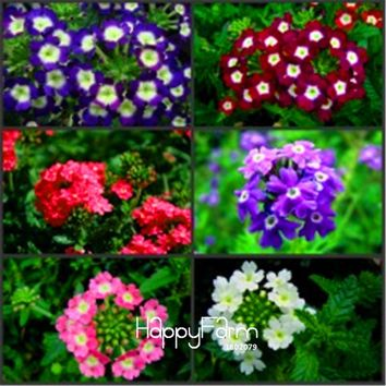 Lowest Price!100pcs/Bag Colorful Verbena hybrida Seeds bonsai plant Flower Seeds for home garden,#PH655B