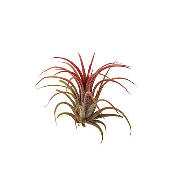 Air plant Tillandsia Red Ionantha Fuego