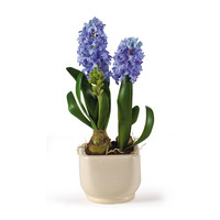 Hyacinth Silk Arrangement w/Glazed Pot