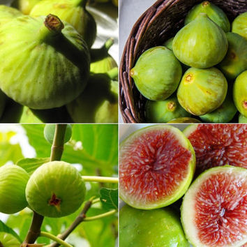 Sweet Honey White Big FIG tree - Fragrant ( White Fig - 2 crops) 100 fresh seeds