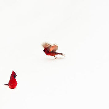 CIJ, Cardinal print, minimalist, white, red, winter, wall decor, Nature Photography, snow, birds, modern wall art
