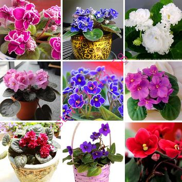 100 PCS  Violet Seeds mini Garden Plants(Red Blue Purple White)violet rose seeds,perennial flowers,matthiola incana seed