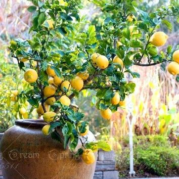 10pcs lemon seeds Bonsai tree seed Perennial indoor pot plant Lemon fruit seeds Citrus limon for home garden landscape plants