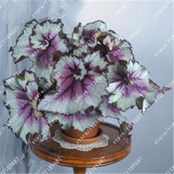 100pcs/begonia seeds bonsai flower seeds courtyard balcony Coleus seeds begonia plants potted garden