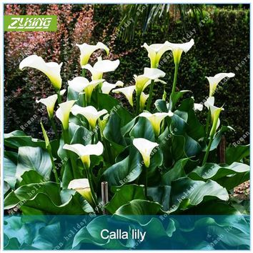 ZLKING 2 Pcs Rare Elegant White Calla Lily Seed Bulbs bonsai High Germination Rate Wedding Flowers Ornamental Medicinal Plants
