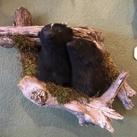 Taxidermy Skunk Pair with Driftwood Display